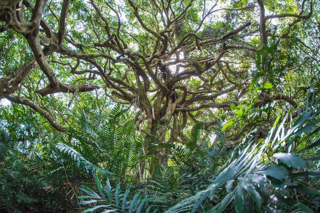 這裡的榕樹又被稱會走路的樹